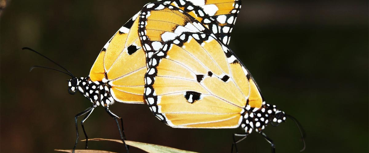 Monarch Butterfly Migration Facts About Butterflies