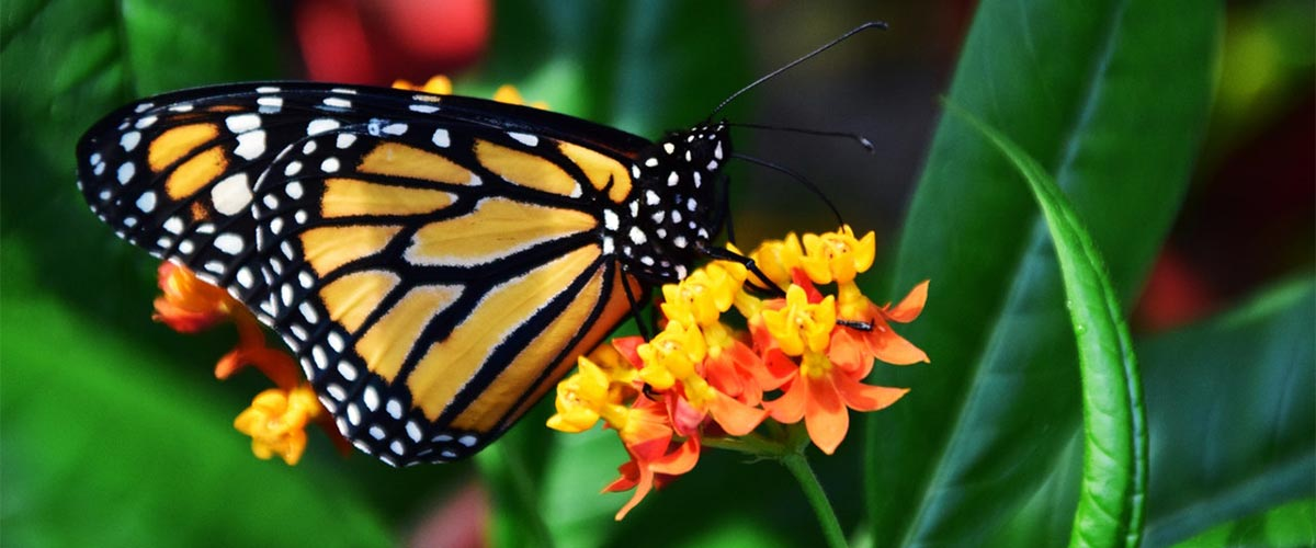 Monarch Butterfly featured image