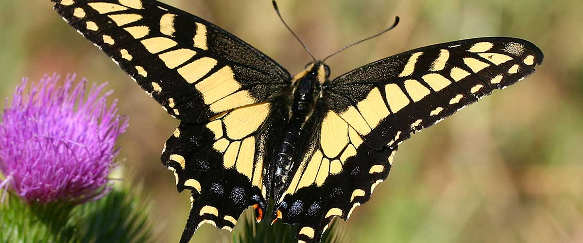 Swallowtail Butterfly featured image