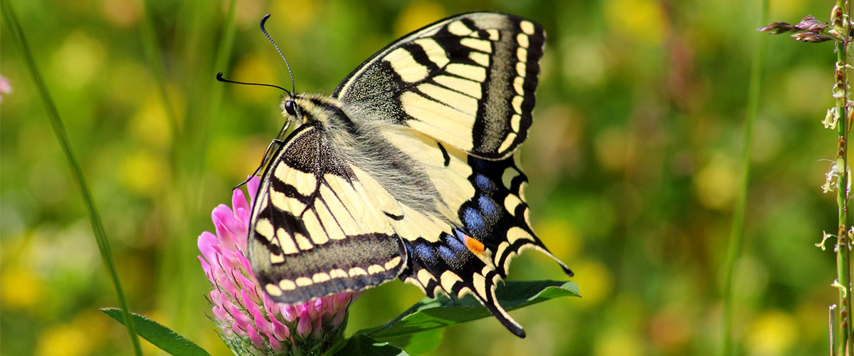 Yellow and Black Butterflies featured image