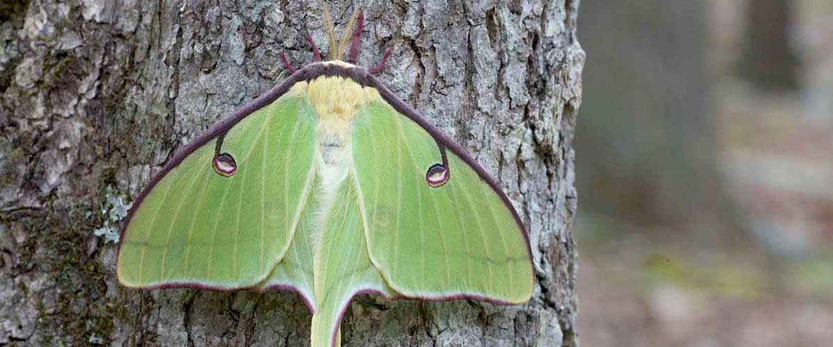 "The Large Green ""Luna"" Moth featured image"